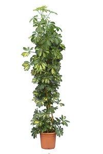 Schefflera arboricola Gold Capella pot Ø 26 cm