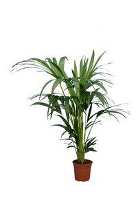 Howea Forsteriana hauteur totale 100-120 cm pot Ø 17 cm