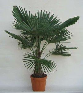 Trachycarpus fortunei - tronc 30-40 cm - hauteur totale 140-160 cm - pot Ø 31 cm