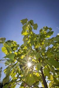 Paulownia tomentosa - circumérence 4-6 cm - hauteur totale 180+ cm - pot Ø 35 cm