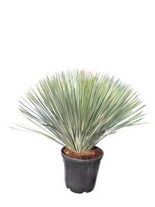 Yucca rostrata - hauteur totale 100-120 cm - pot Ø 38 cm