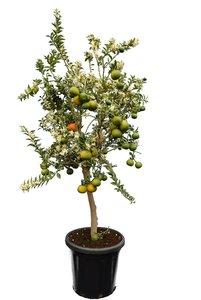 Citrus myrtifolia - tronc 50-70 cm - hauteur totale 150-170 cm - pot 40 cm [palette]