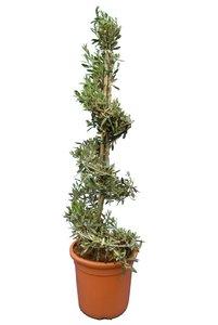 Olea europaea Spirale - hauteur totale 130-150 cm - pot Ø 35 cm