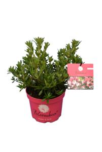 Bloombux magenta - Rhododendron micranthum Microhirs - hauteur totale 25-40 cm - pot 2 ltr