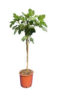 Ficus carica Brown Turkey - tronc 60-80 cm - Ø 28 cm pot