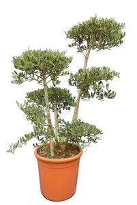Olea europaea - Bonsai - hauteur totale 140-160 cm - pot Ø 40 cm [palette]