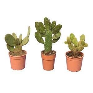 Cactus mix set of 3 - hauteur totale 30-40 cm - pot Ø 15 cm