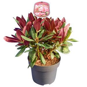 Rhododendron Wine & Roses - hauteur totale 35-45 cm - pot 22 cm