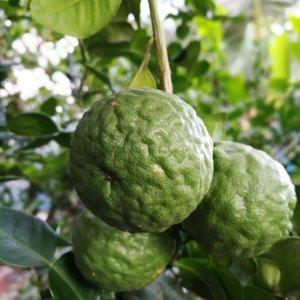 Citrus hystrix - hauteur totale 50+ cm - pot 14 x 14 cm